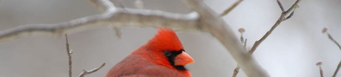 Old Waynesborough cardinal male