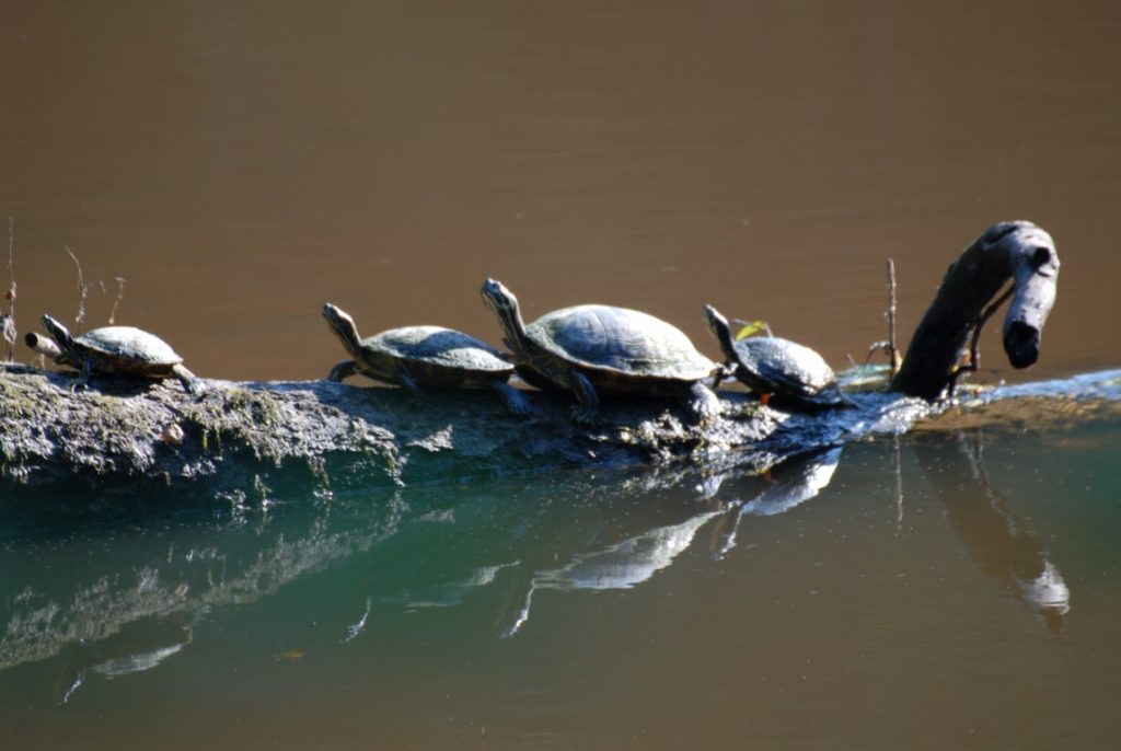 turtles on river